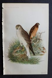Ridgway 1893 American Bird Print. Marsh Hawk 03